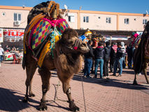 Camel wrestling festival. In Kumluca, Antalya, Turkey Royalty Free Stock Image