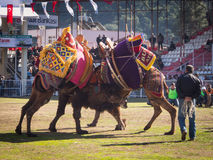 Camel wrestling festival Stock Photos