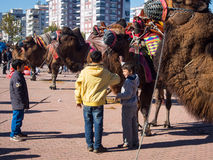 Camel wrestling festival. In Kumluca, Antalya, Turkey Royalty Free Stock Photo