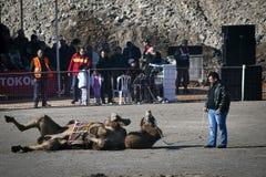 Camel wrestling. Camel and instructor. Camel wrestling at menemen Izmir. January 11 2015 Izmir Turkey royalty free stock image