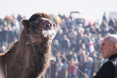 Camel wrestling Stock Image