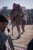 Camel wrestling Royalty Free Stock Image