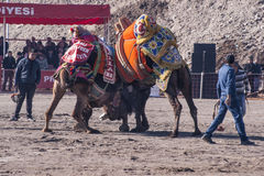 Camel wrestling Royalty Free Stock Photography