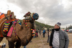Camel wrestling in Selcuk Arena, Camel wrestling is popular tourist attraction in Turkey Stock Image