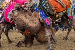 Camel wrestling in Selcuk Arena, Camel wrestling is popular tourist attraction in Turkey Royalty Free Stock Photography