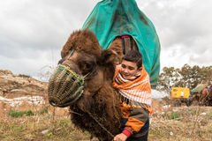 Camel wrestling in Selcuk Arena, Camel wrestling is popular tourist attraction in Turkey Stock Photography