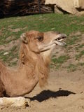Camel, Wroclaw, Poland Stock Images