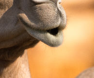 Camel (dromedary or one-humped Camel), Emirates Park Zoo, Abu Dh Royalty Free Stock Photo
