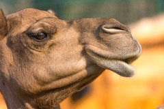 Camel (dromedary or one-humped Camel), Emirates Park Zoo, Abu Dh Stock Image