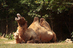 Camel Yawn Stock Photo
