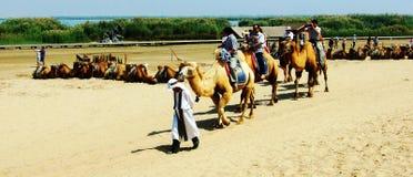 The camel of yinchuan shalake isemployed. zhaofuxin stock photo