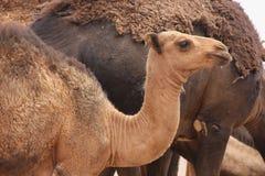 Camel Stock Image