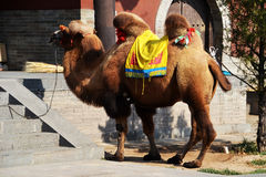 Camel in Yungang Grottoes. The Yungang Grottoes are ancient Chinese Buddhist temple grottoes near the city of Datong Royalty Free Stock Image