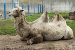 Camel in zoo Stock Photo