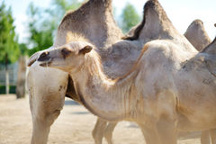 Camel at the zoo Stock Image