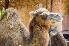 Camel. In the zoo Royalty Free Stock Photo