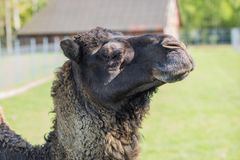 Camel in the zoo. An African animal locked in a cage. Season of the spring stock images