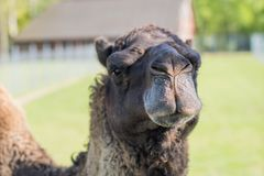 Camel in the zoo. An African animal locked in a cage. Season of the spring stock photos