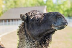 Camel in the zoo. An African animal locked in a cage. Season of the spring royalty free stock photography
