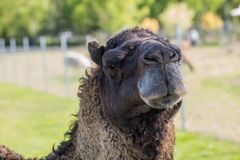 Camel in the zoo. An African animal locked in a cage. Season of the spring stock photography