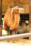 Camel in zoo Royalty Free Stock Image