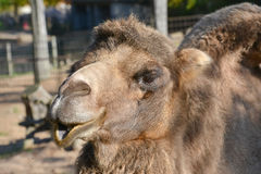 Camel in zoo. A brown camel in Zoo Stock Photos