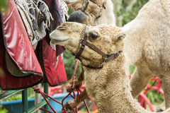 Camel in the zoo, camel blanket in the background. Florida Royalty Free Stock Photography