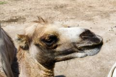 Camel in the zoo, camel close-up.  royalty free stock photo