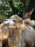 Camel in a zoo Stock Photos