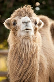 Camel in the zoo Stock Photography