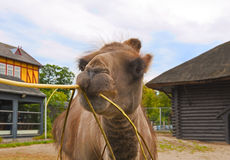 Camel in Zoo. A close up of the camel in Zoo stock image