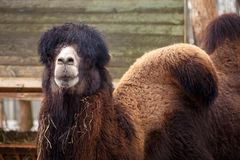 Camel in the zoo, close up. Brown camel in the zoo, close up royalty free stock photo