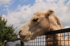 Camel in the zoo Royalty Free Stock Photo