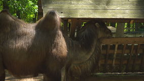 Camel in the zoo eating stock footage