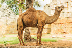 Camel zoo Stock Photography