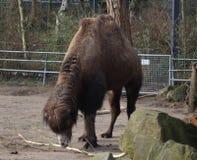 Camel in zoo. Camel grazing grass in zoo Foto taken in ouwehands zoo in rhenen stock photo