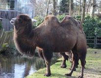Camel in zoo. Camel grazing grass in zoo Foto taken in ouwehands zoo in rhenen royalty free stock images