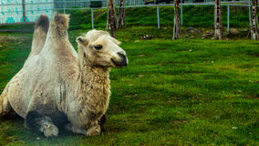 Camel. In the zoo in Karelia royalty free stock photography