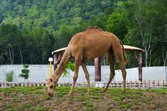 A camel at the zoo on Langkawi Island. Malaysia royalty free stock image