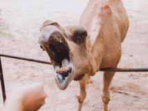 Camel at the zoo Royalty Free Stock Image