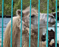 Camel  in a zoo Stock Photography