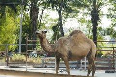 Camel in a zoo Stock Photos