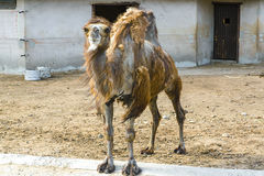 Camel in the zoo. Royalty Free Stock Photos