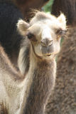 Camel in the Zoo Royalty Free Stock Images