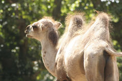 Camel in the Zoo. A camel at the Zoo in Rome, Italy Stock Photos