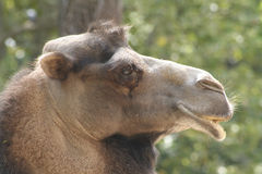 Camel in the Zoo. A camel at the Zoo in Rome, Italy Royalty Free Stock Image