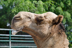 Camel in zoo salivary frothy. Royalty Free Stock Images