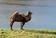 Camel in zoological garden Royalty Free Stock Photography
