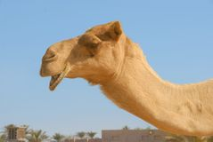 Camel2. Camel in a Dubai village area Royalty Free Stock Images
