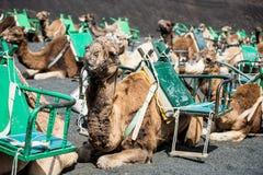 Camelcade on Lanzarote Stock Photography